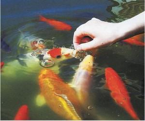 Кормление рыб в садовом аквариуме
